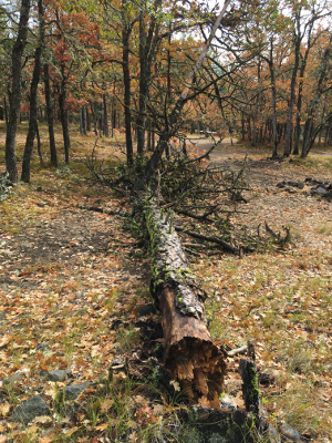[Thumbnail for Storm-Felled-Tree-before.JPG]