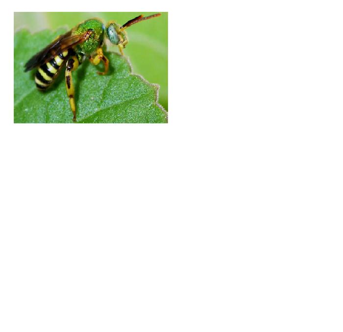 [Thumbnail for green-sweat-bee-2.png]