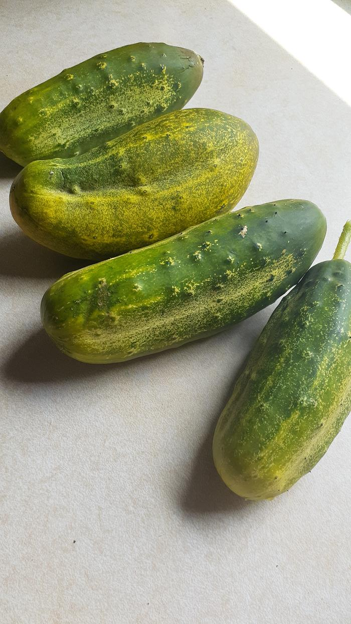 cucumbers harvested