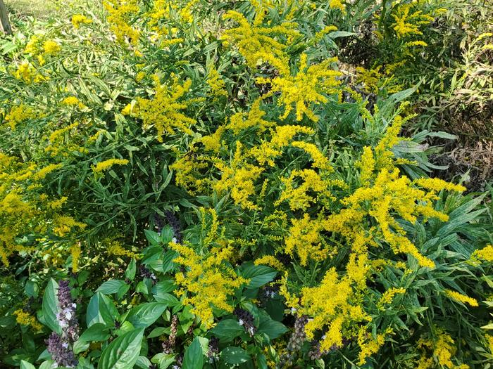 Goldenrod and cinnamon basil