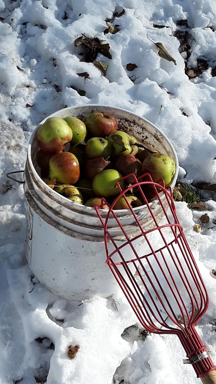 Gathering foraged apples