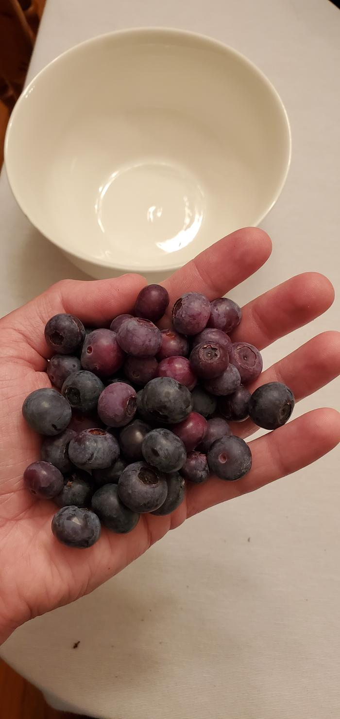 First handful harvest of blueberries this year! A little pink, but still super tasty!