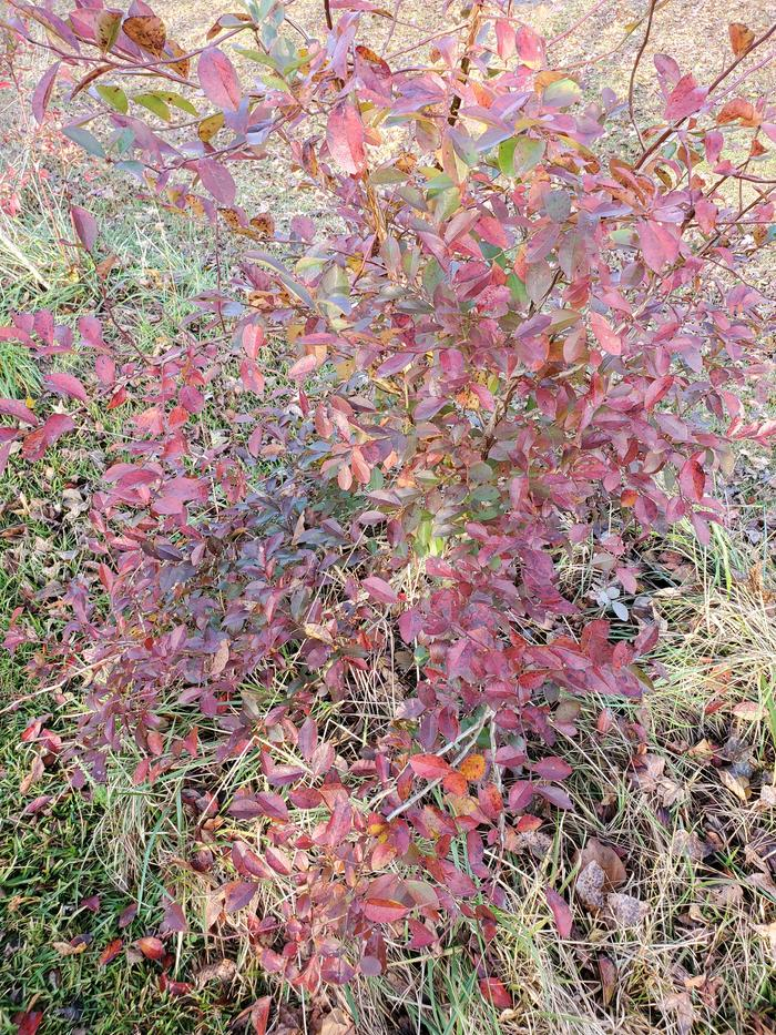 Red blueberry bush 3
