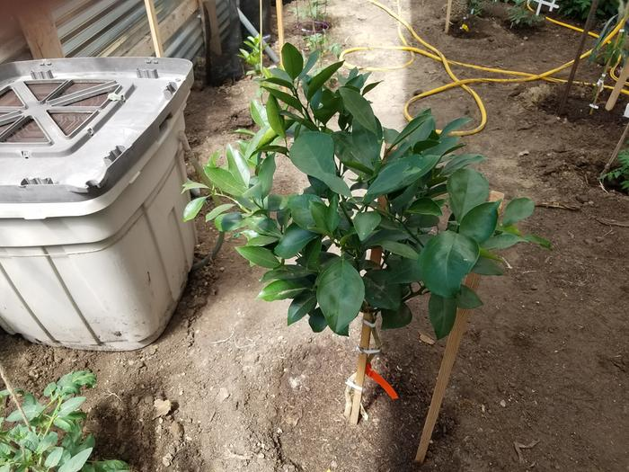 One of the oranges planted in the ground. Note the water/compost tea container to the left.