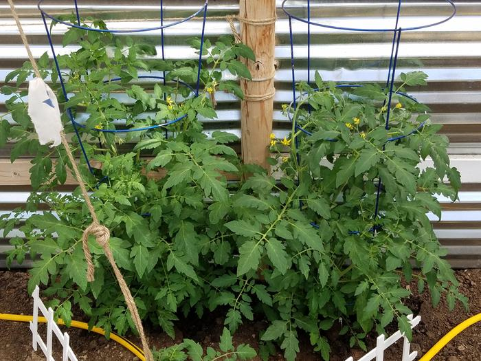 Tomatoes on May 26th. They have since grown past the wire cages and above the 4' wall!