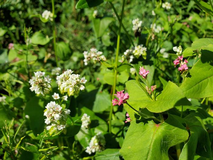 White and pink buckwheat flowers