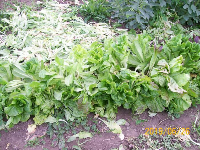 culling small lettuce plants