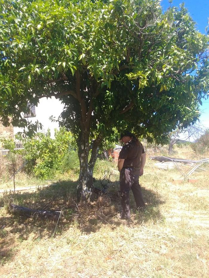 fertilizing the orange tree, hope for more oranges next year!