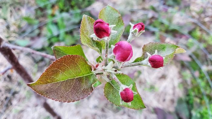 Dark red apple flower buds