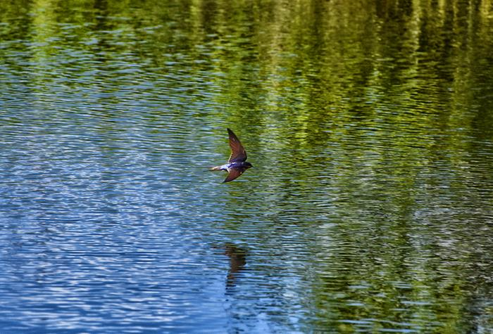 barn swallow flying over pond