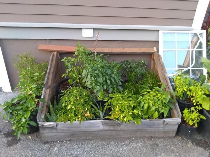 keeping pepper plants warm