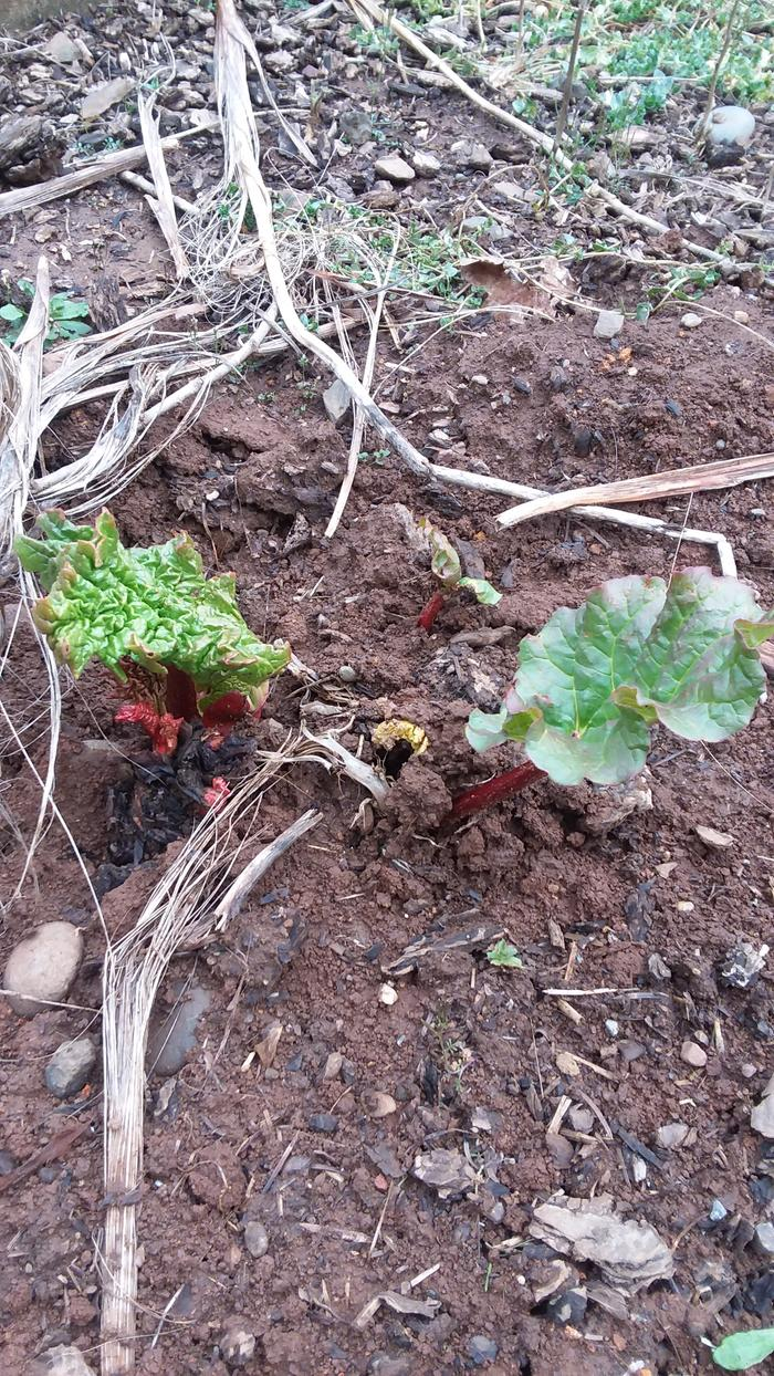 Rhubarb coming up