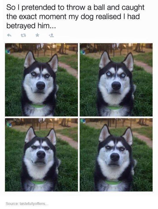[Thumbnail for Dog-Husky-fake-ball-throw.jpg]