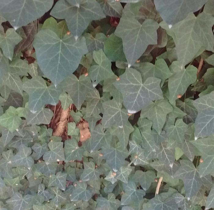 Asian Ladybugs in the ivy