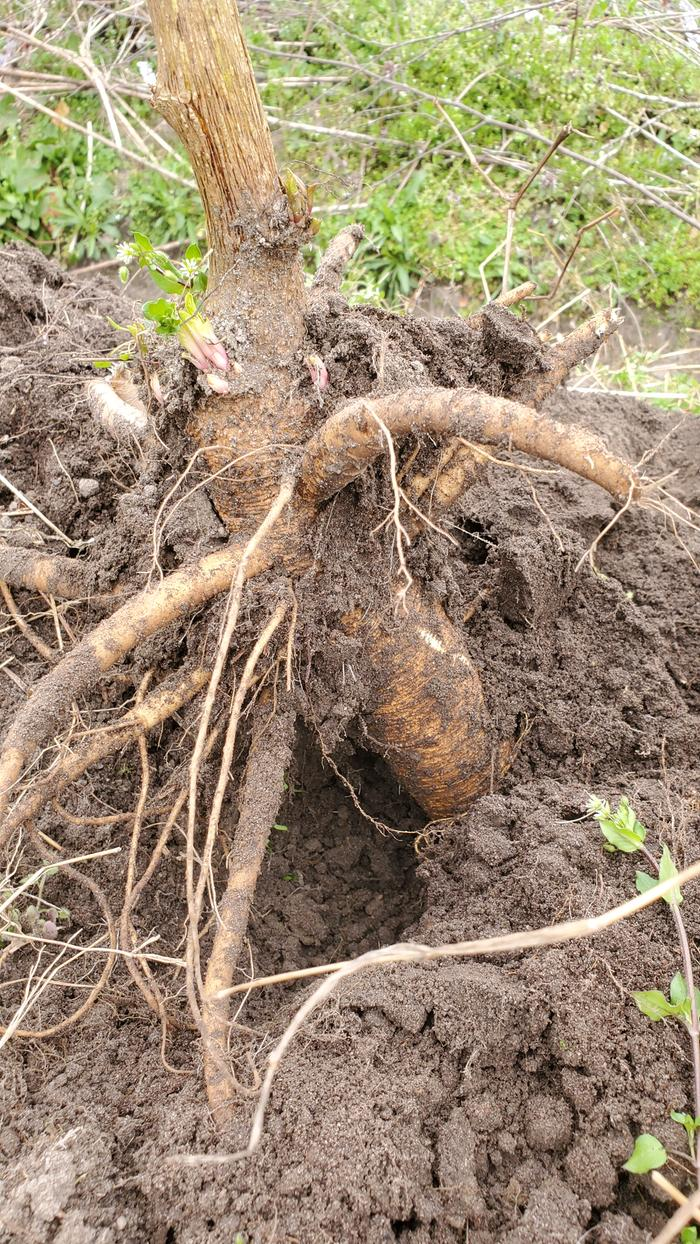 Giant pokeweed roots