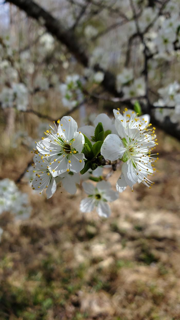 Plum flowers in full bloom