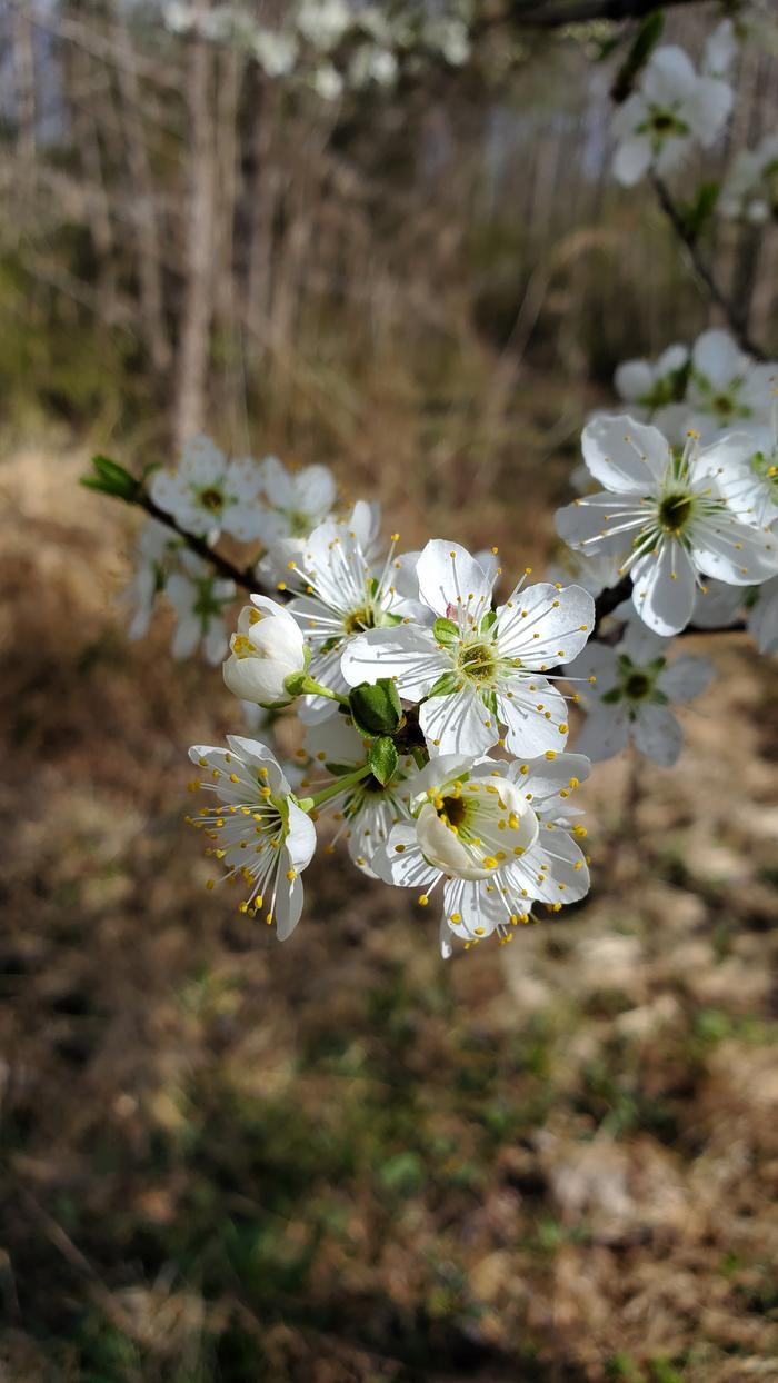 More plum flowers