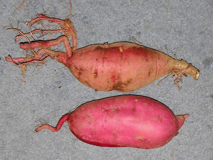Sweet Potato root type comparison
