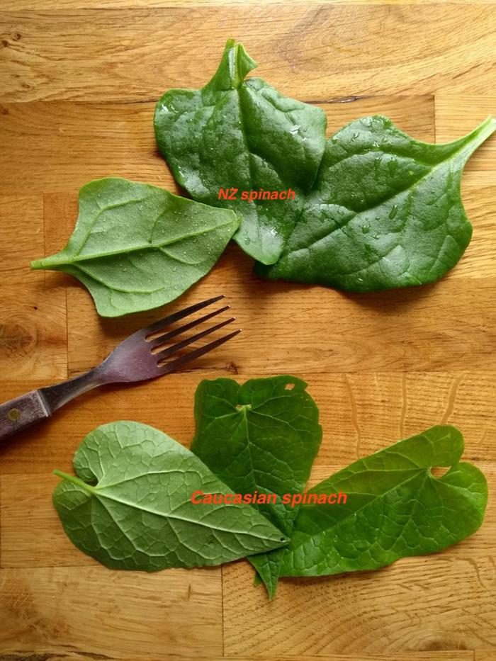 Comparison of NZ spinach (top )and Caucasian spinach (bottom)