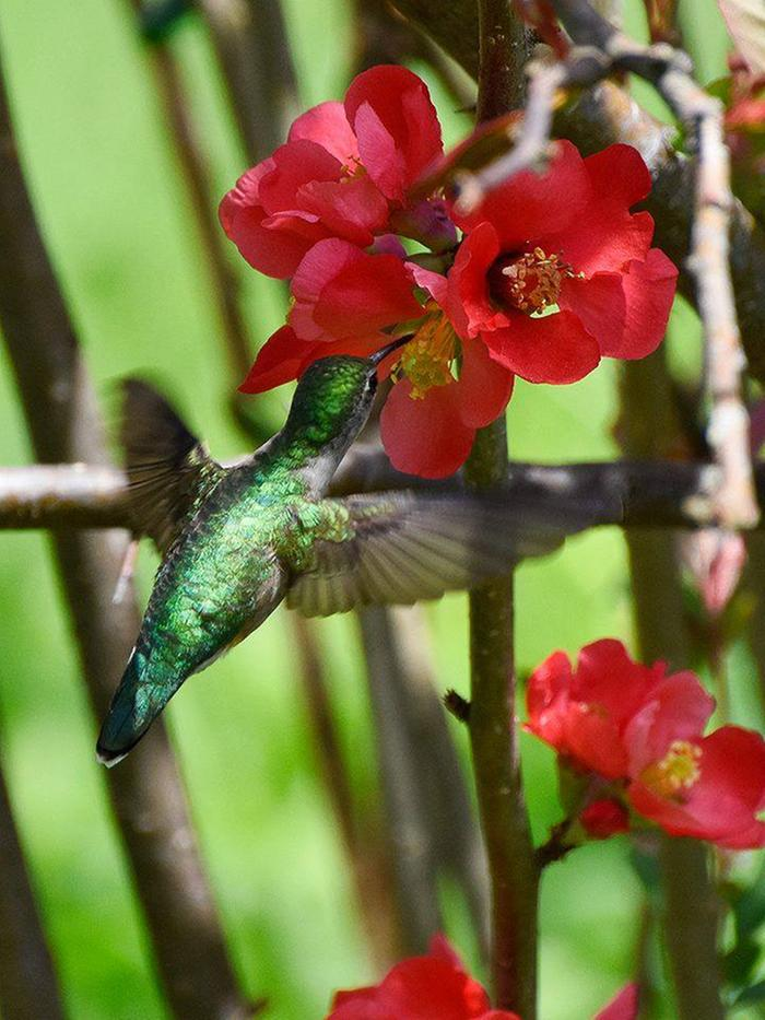Humming bird working the Quince. The quince flowers just about the time the hummers return. As soon as we see buds ready to open we put up the humming bird feeders.