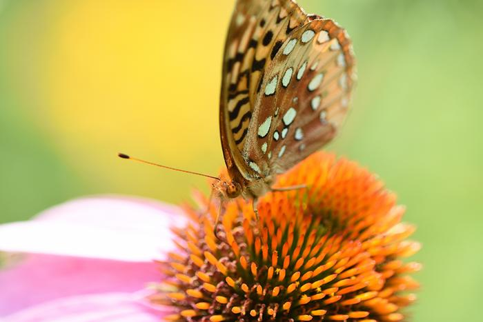 Great Spangled Fritillary... checking out the Echinacea...