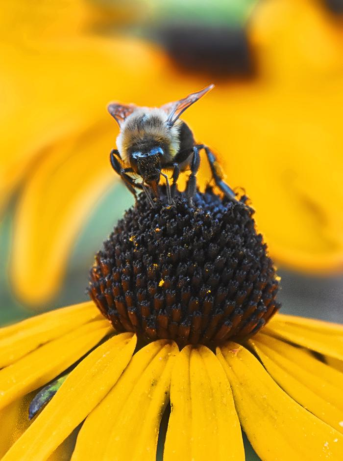 Working a Rudbeckia