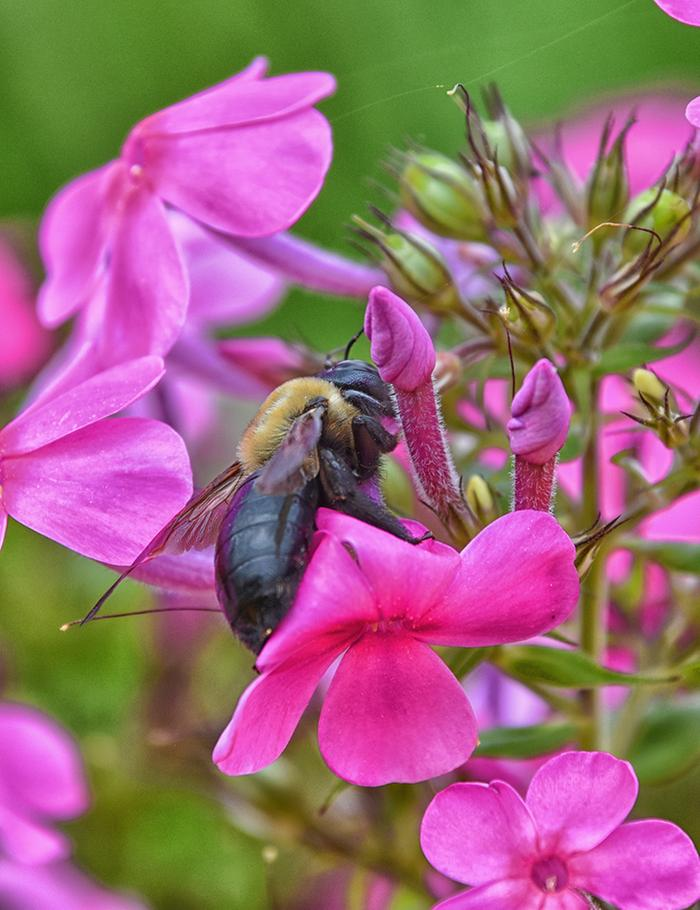 Cuckoo Bumble Bee among Phlox