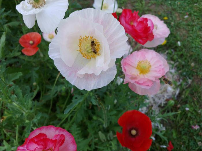[Thumbnail for bee-on-shirley-poppies.jpg]
