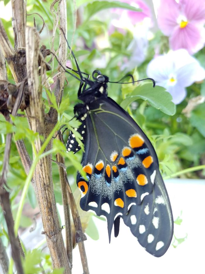 [Thumbnail for black-swallowtail-near-pansies.jpg]
