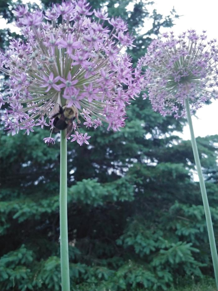 [Thumbnail for bumblebee-on-allium-2020.jpg]