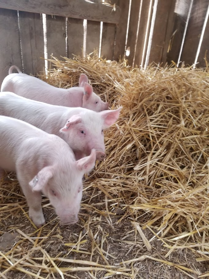 Very young piggys