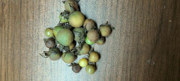 Fruit from habrochaites that turned brown overnight due to weather. Very soggy.
