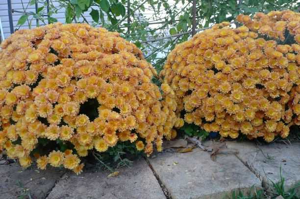 Garden mums. Each clump started as a 4 inches cutting in the spring. No pinching needed