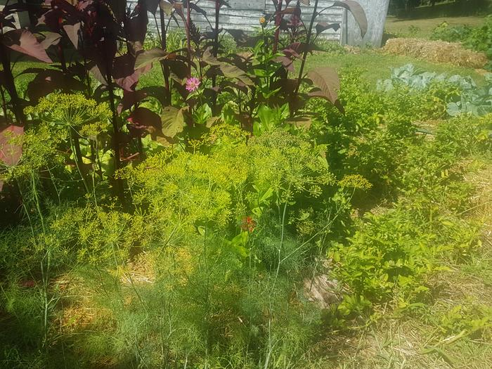 Dill amaranth and background cabbage