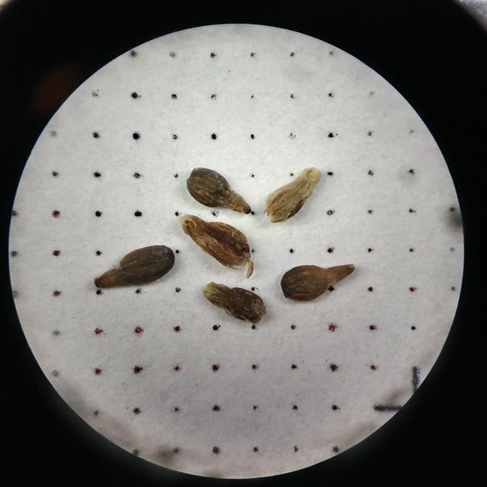 Sage seeds, approximately 1 mm wide.
