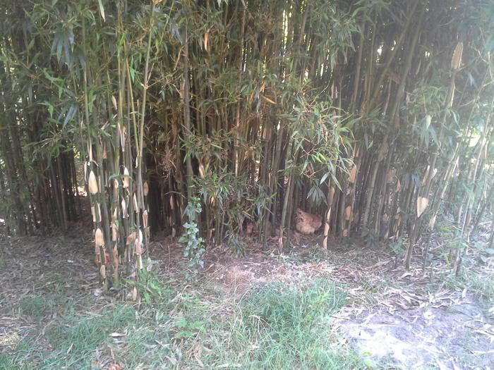bamboo with chickens