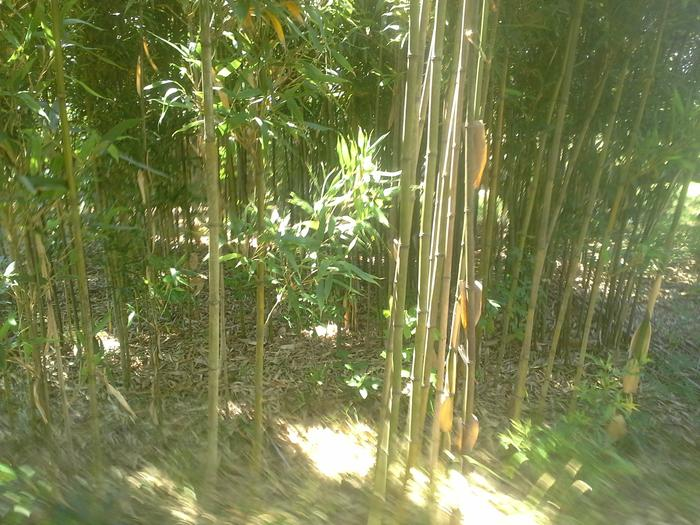 This bamboo gets 35 feet high