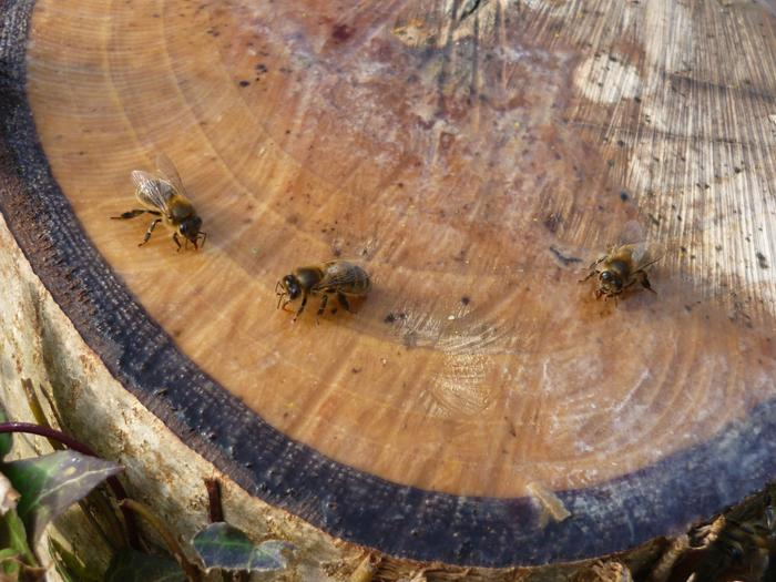 bees on walnut stump