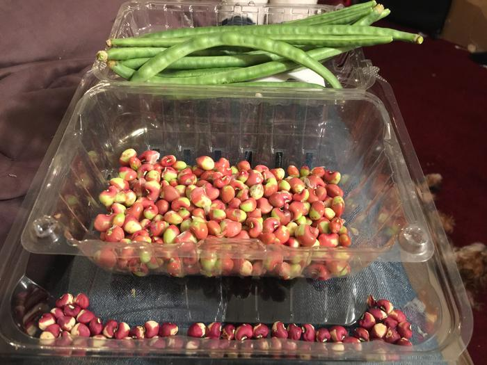 They're the calico crowder peas I was given to grow out 3 years ago