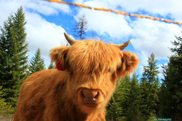 [Thumbnail for young-scottish-highlander-heifer.jpg]