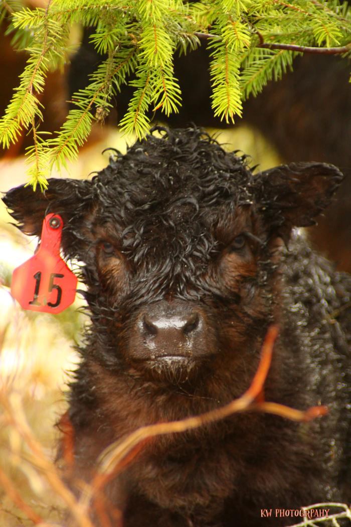 [Thumbnail for black-highlander-calf.jpg]