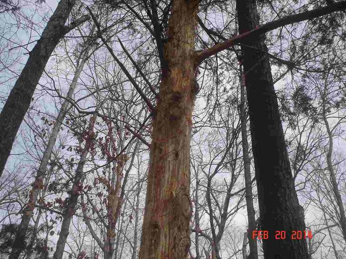 eastern red cedar, normal bark shedding
