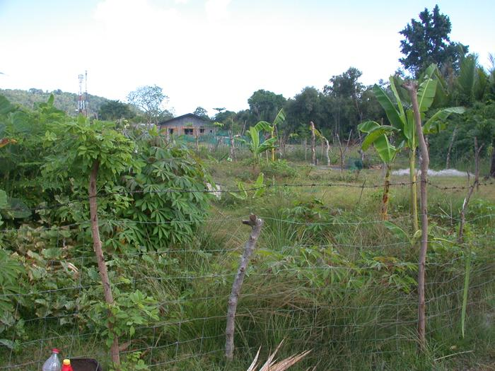 5/16 - the cassava is taking over the world, or at least the upper (wetter) berm.