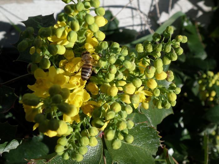 Oregon Grape Friend