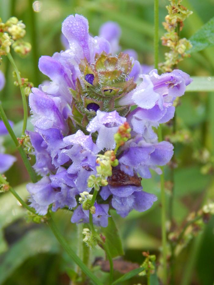 Prunella vulgaris - common self-heal or heal-all
