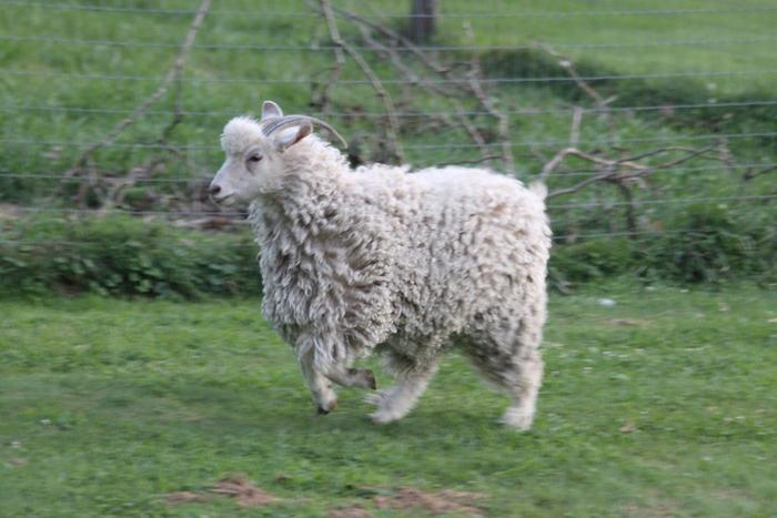 angora goat jumping in field of grass
