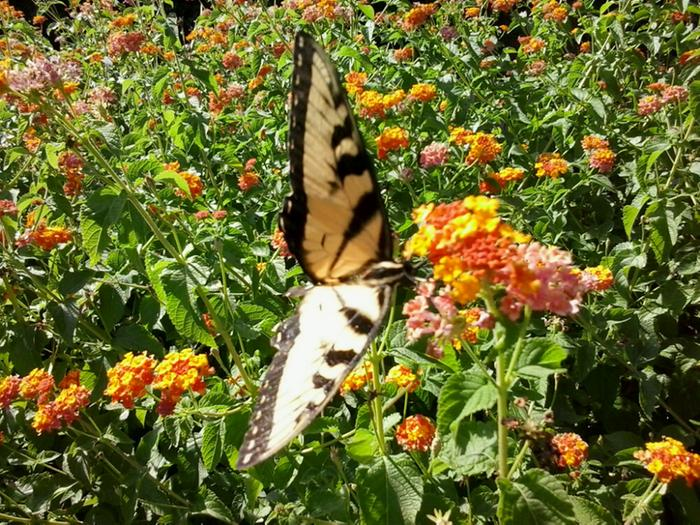 Tiger Swallowtail on lantana