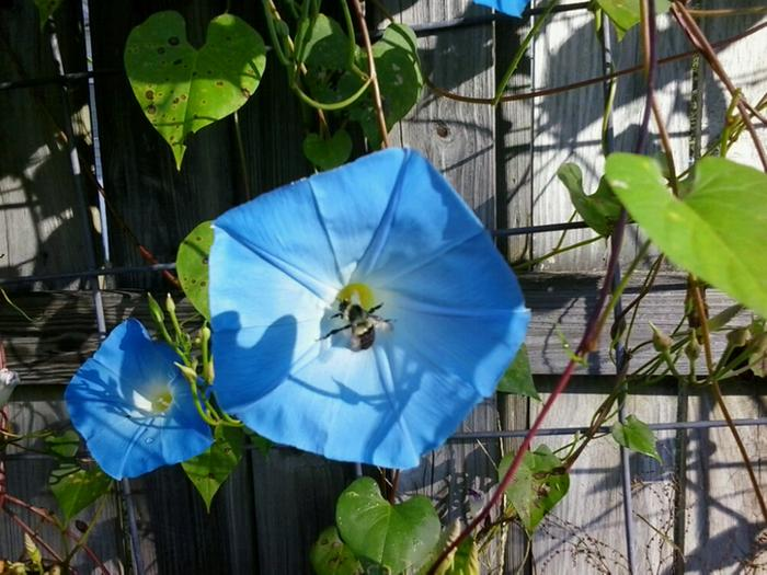 Heavenly Blue Morning Glory - Bumble Bee