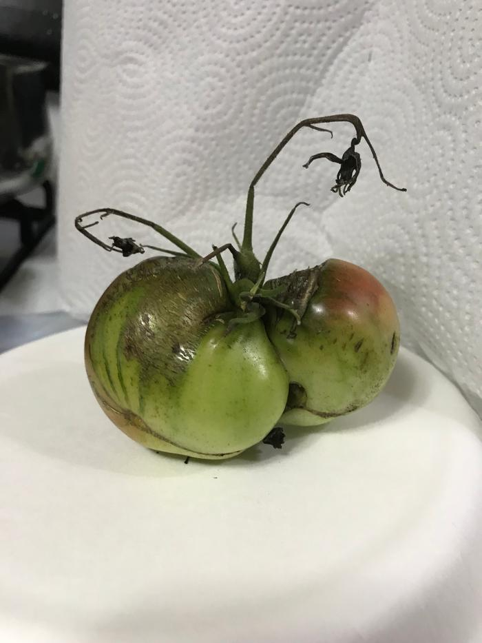 The FSM sighted in my tomatoes