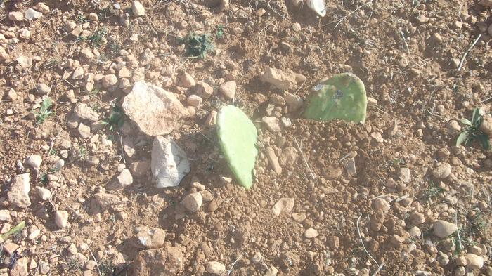 More prickly pears planting